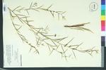 Ludwigia linearis by Walt.