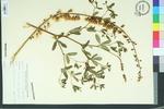 Baptisia leucantha