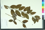 Berchemia scandens
