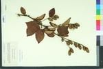Betula lutea