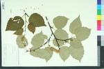 Betula papyrifera