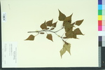 Betula populifolia