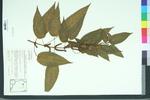 Boehmeria cylindrica