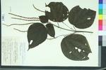 Boehmeria platyphylla