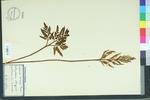 Botrychium obliquum