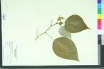 Broussonetia papyrifera