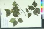 Celtis occidentalis var. georgiana
