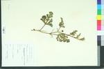 Citrullus vulgaris