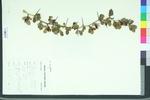 Crataegus uniflora