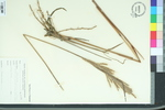 Erianthus brevibarbis
