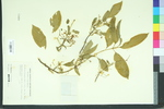 Euonymus hians