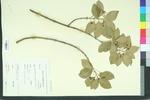 Euonymus patens