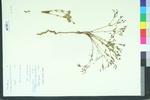 Euphorbia gracilior