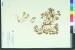 Euphorbia polygonifolia