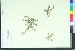 Euphorbia supina