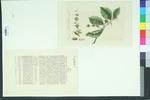 Fagus sylvatica f. fastigiata