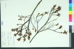 Gale palustris