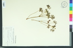 Geranium carolinianum