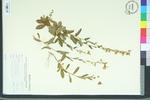 Helianthemum carolinianum