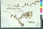 Helianthemum corymbosa