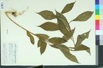 Hybanthus concolor