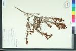 Hypericum canadense