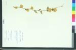 Kerria japonica