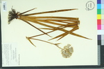 Lachnanthes tinctoria