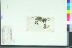 Lecanthus wightii