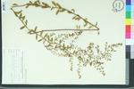 Lechea villosa