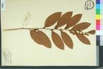 Leucothoe axillaris