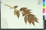 Leucothoe editorum