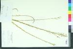 Linum virginianum var. medium