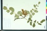 Maackia chinensis