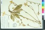 Nicotiana longiflora