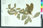 Oemleria cerasiformis