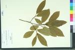 Rhamnus caroliniana