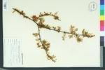 Vachellia densiflora
