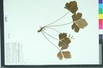 Waldsteinia fragarioides