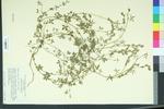 Zornia bracteata